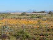 Die Halbwüste beginnt zu blühen. Es ist Frühling im Westen von Südafrika.