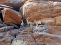 Drei Klippspringer beim Fish River Canyon