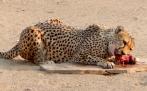 Gepard, leider nur in Gefangenschaft gesehen.