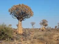 Der Köcherbaumwald ist ein nationales Denkmal von Namibia.