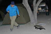 Mit Honigdachsen ist nicht zu spaßen. Lieber ein bisschen Abstand halten. Camping im Etosha Nationalpark.